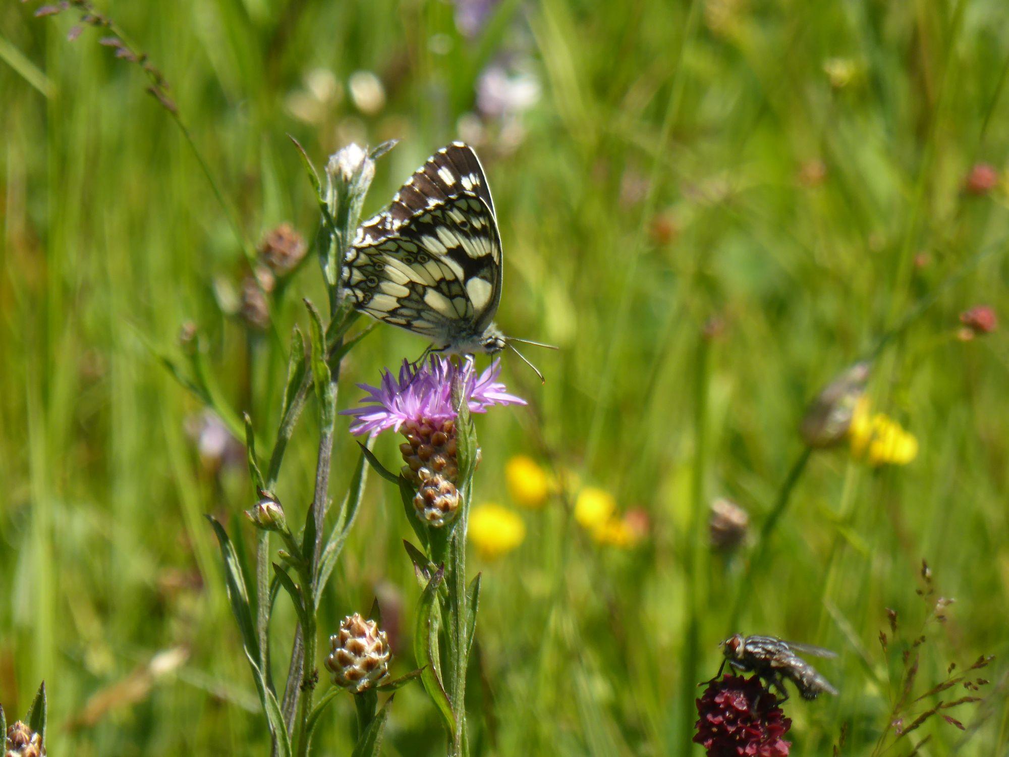 P1160493_Flockenblumen und Schachbrett_c_RM Europaschutzgebiete.jpg